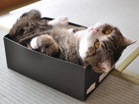 Maru Box Cat